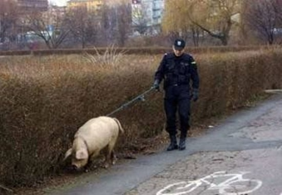 Funny Pigs Pictures (9)