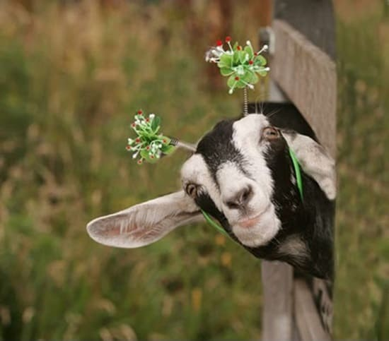 Funny goat pictures (18)