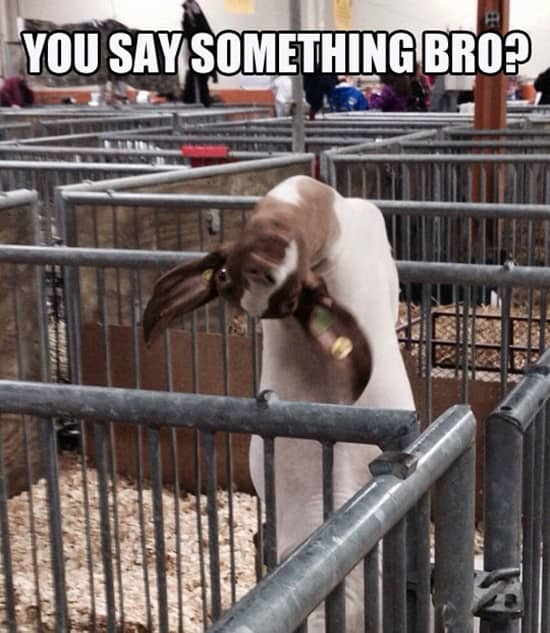 Funny goat pictures (19)