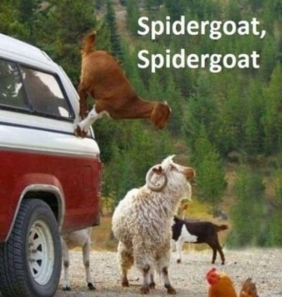 Funny goat pictures (23)
