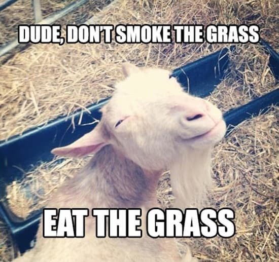 Funny goat pictures (3)