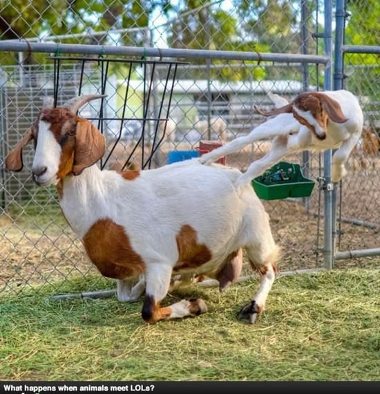 Of course it goes without saying that some funny pictures of goats come about due to some interesting photography or the use of cartoons or caricatures ...