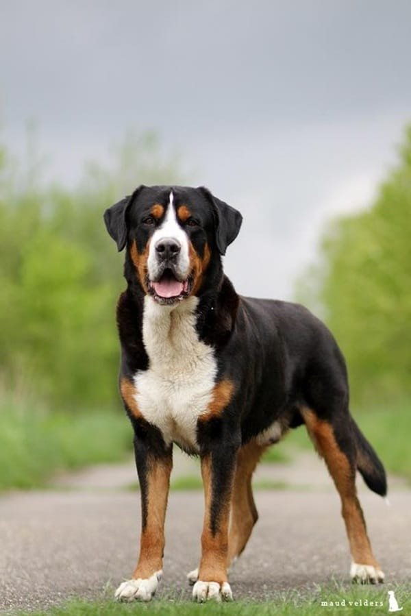 Strongest Breed Of Dogs (11)