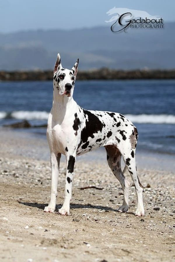 Strongest Breed Of Dogs (12)