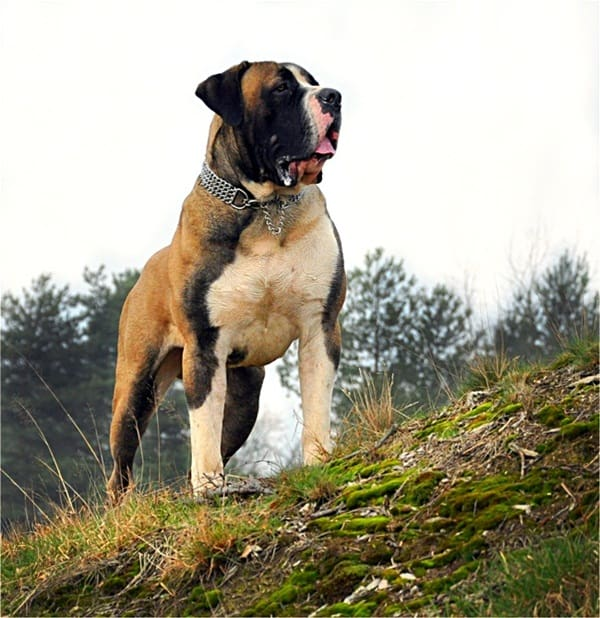 Strongest Breed Of Dogs (15)