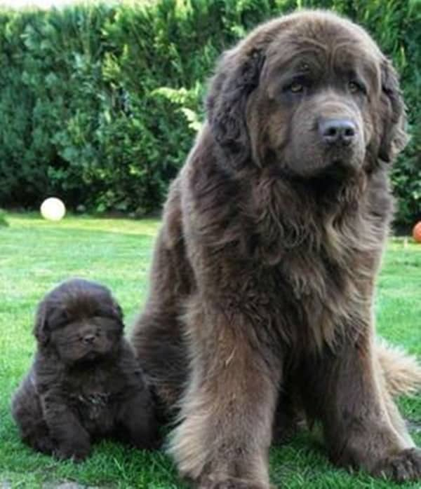 Strongest Breed Of Dogs (18)
