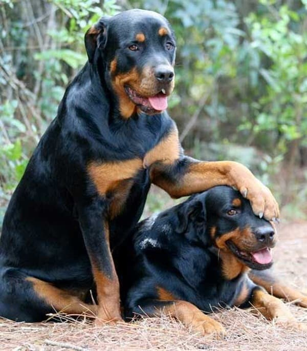 Strongest Breed Of Dogs (20)
