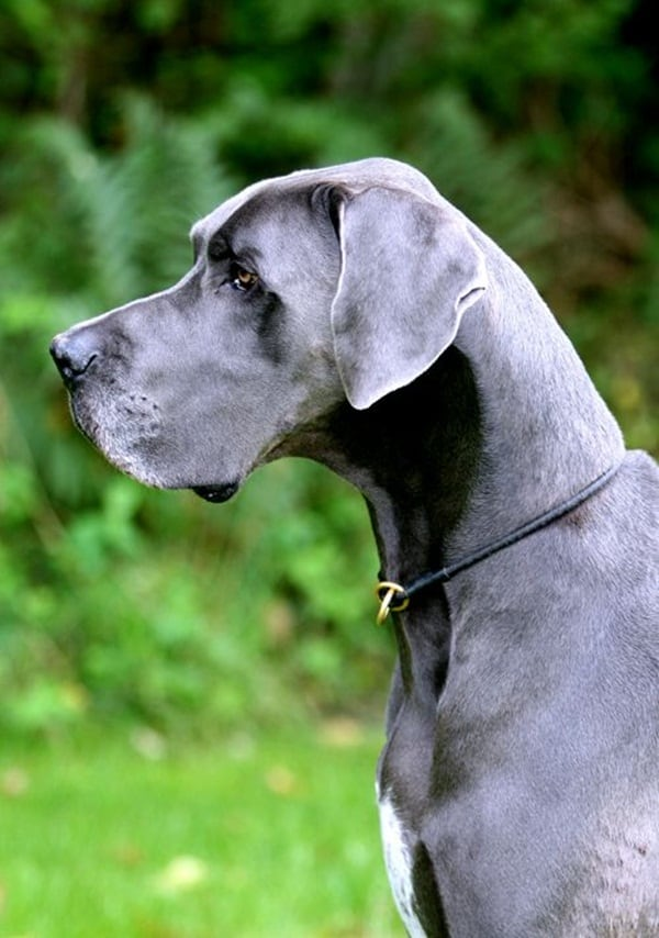 Strongest Breed Of Dogs (3)
