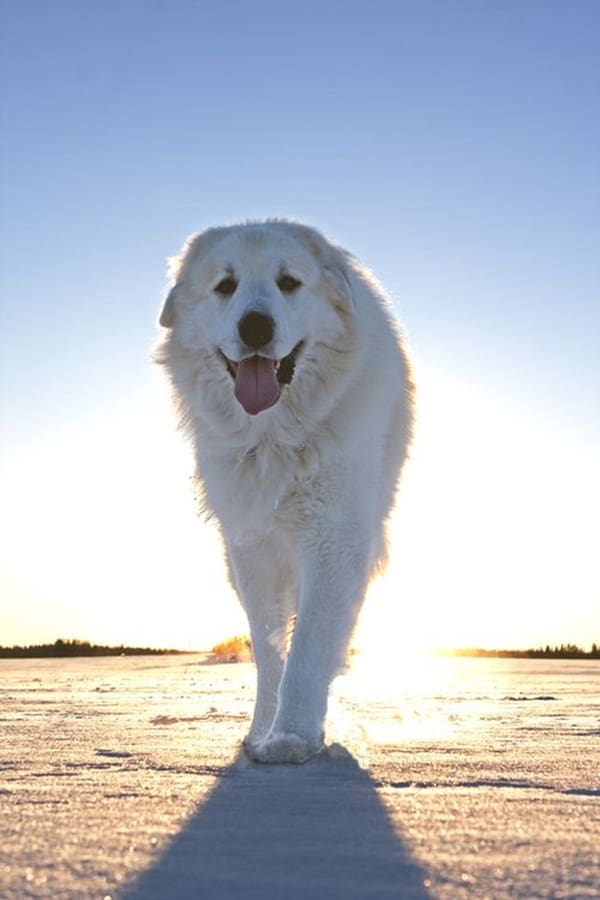 Strongest Breed Of Dogs (8)