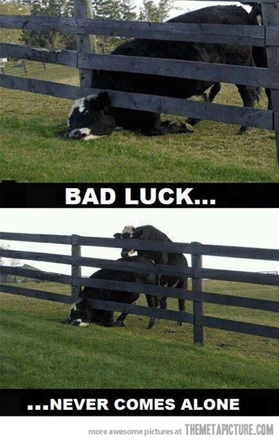 40 Funny Cow Pictures To Make Your Day Dump