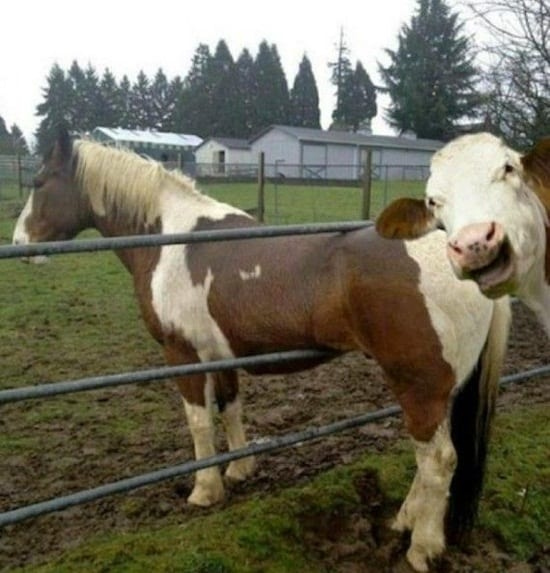 funny cow pictures (22)