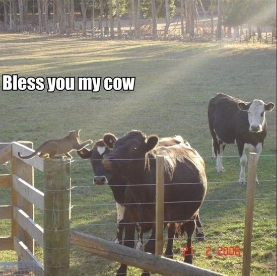 funny cow pictures (29)