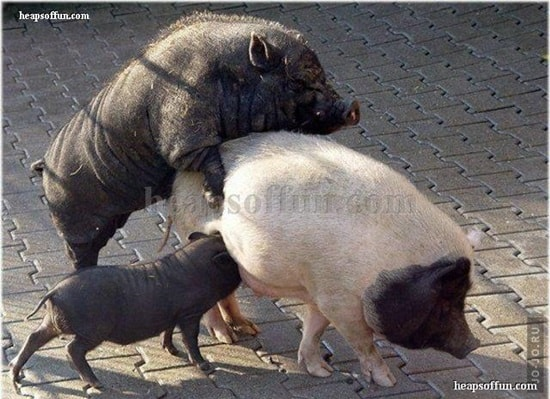 funny pig pictures 30 (4)