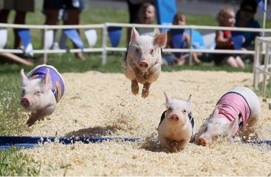 funny pig pictures 30 (6)