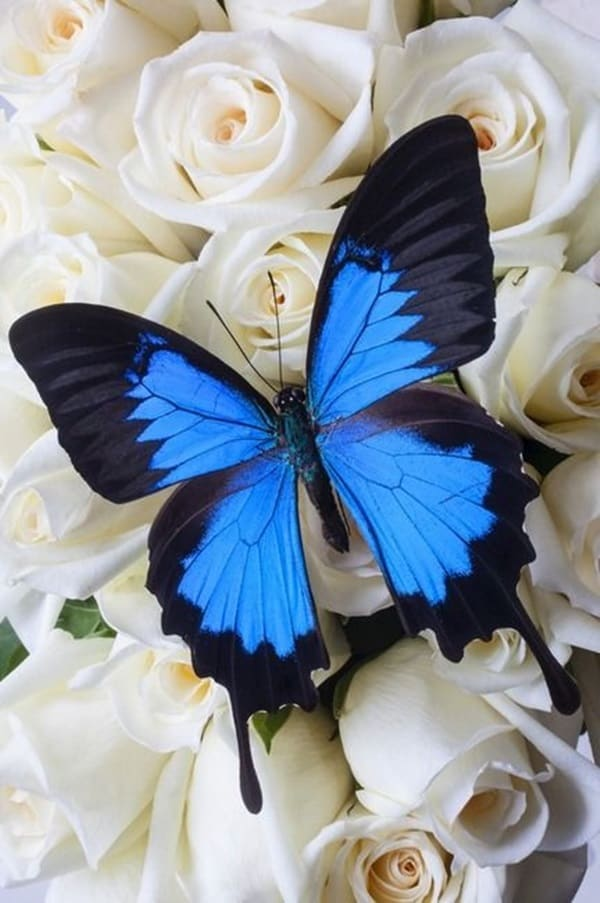 beautiful picturesof flower and butterflies (12)