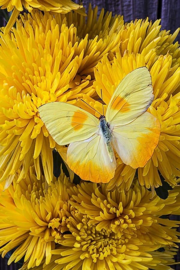 beautiful picturesof flower and butterflies (34)
