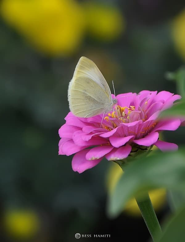 beautiful picturesof flower and butterflies (44)