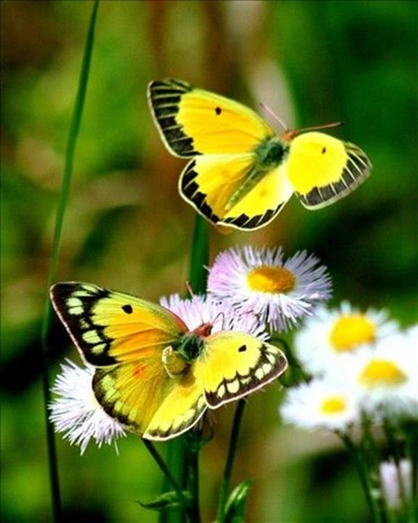beautiful picturesof flower and butterflies (46)