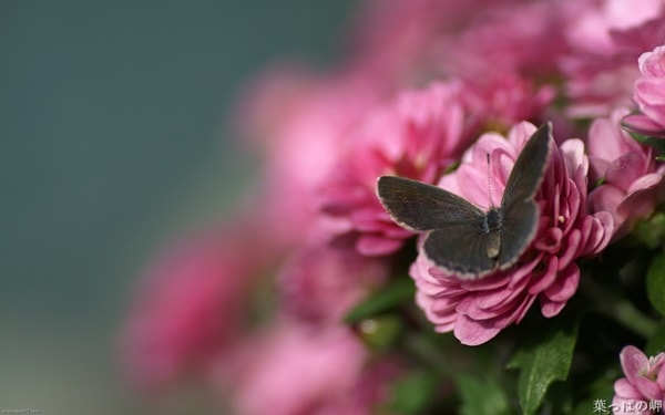 beautiful picturesof flower and butterflies (5)