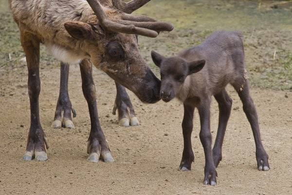 Reindeer Kisses at SanDiego Zoo
