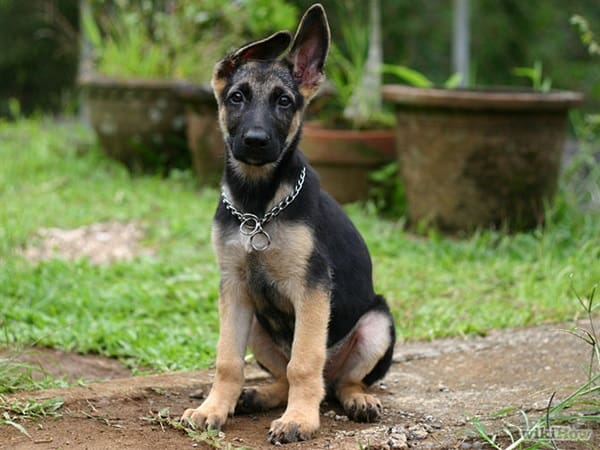 Best and Smart Dog Breeds (10)