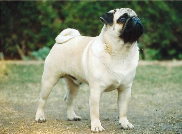 Best and Smart Dog Breeds (2)