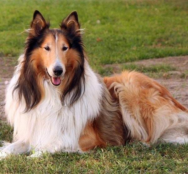 Best and Smart Dog Breeds (4)