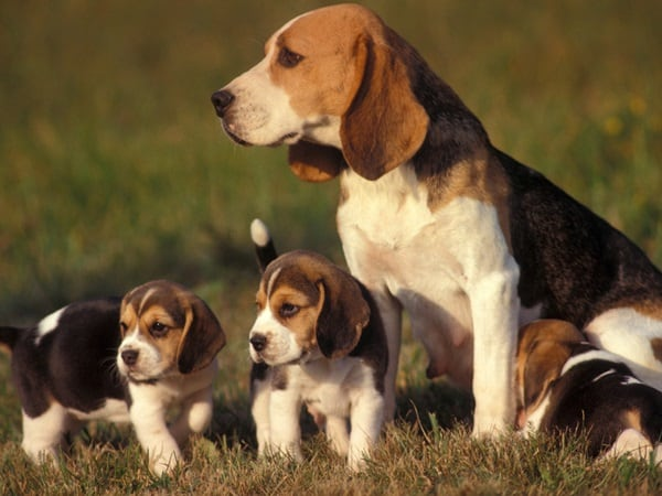 Best and Smart Dog Breeds (6)