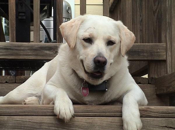 Best and Smart Dog Breeds (8)