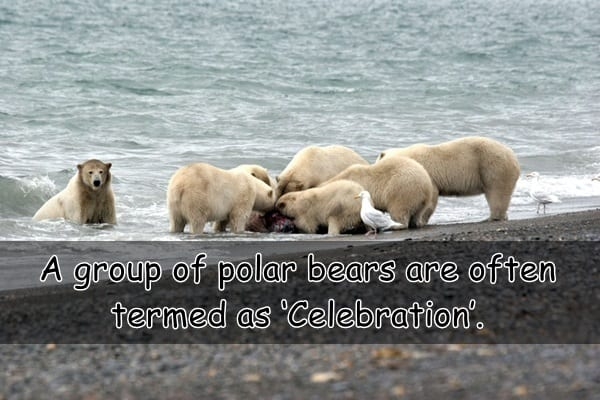 Interesting facts about Polar Bears (1)