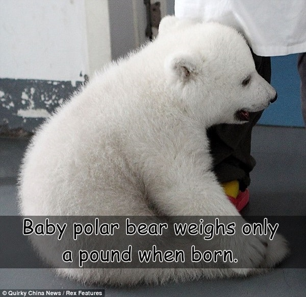 Interesting facts about Polar Bears (10)