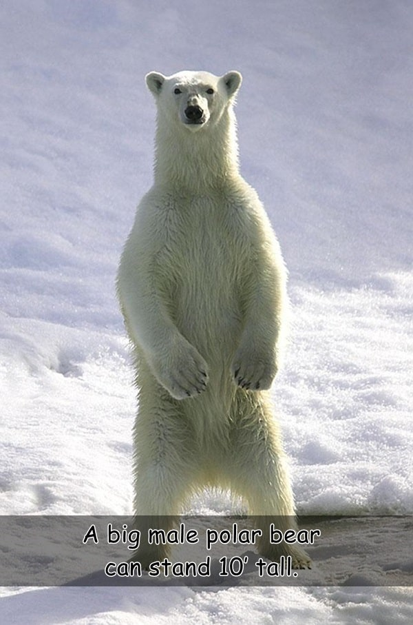 Interesting facts about Polar Bears (11)