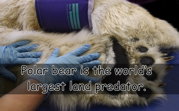 Interesting facts about Polar Bears (13)