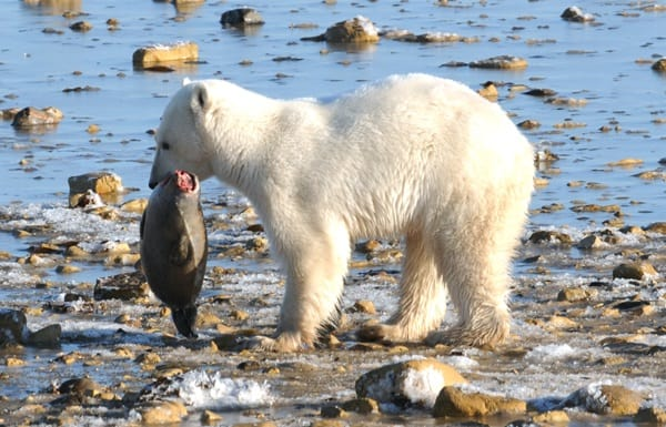 Interesting facts about Polar Bears (2)