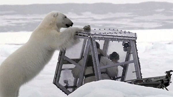 Interesting facts about Polar Bears (3)