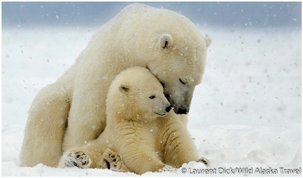 Interesting facts about Polar Bears (4)