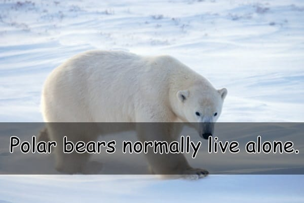 Interesting facts about Polar Bears (6)