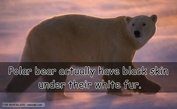 Interesting facts about Polar Bears (7)