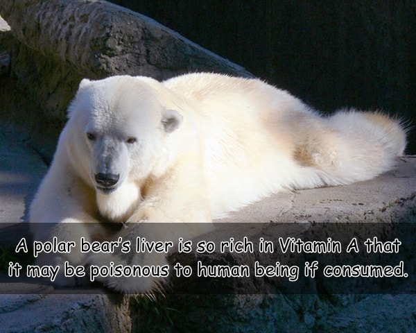 Interesting facts about Polar Bears (8)