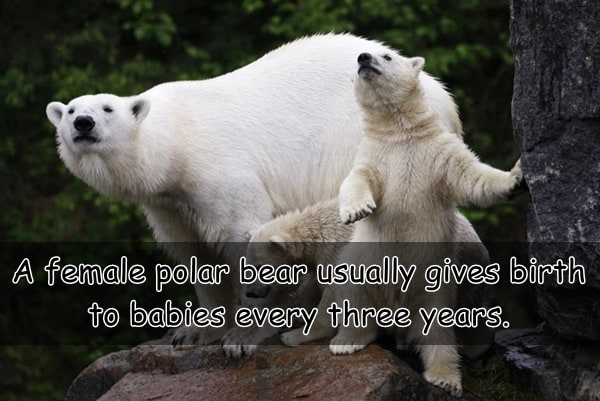 Interesting facts about Polar Bears (9)