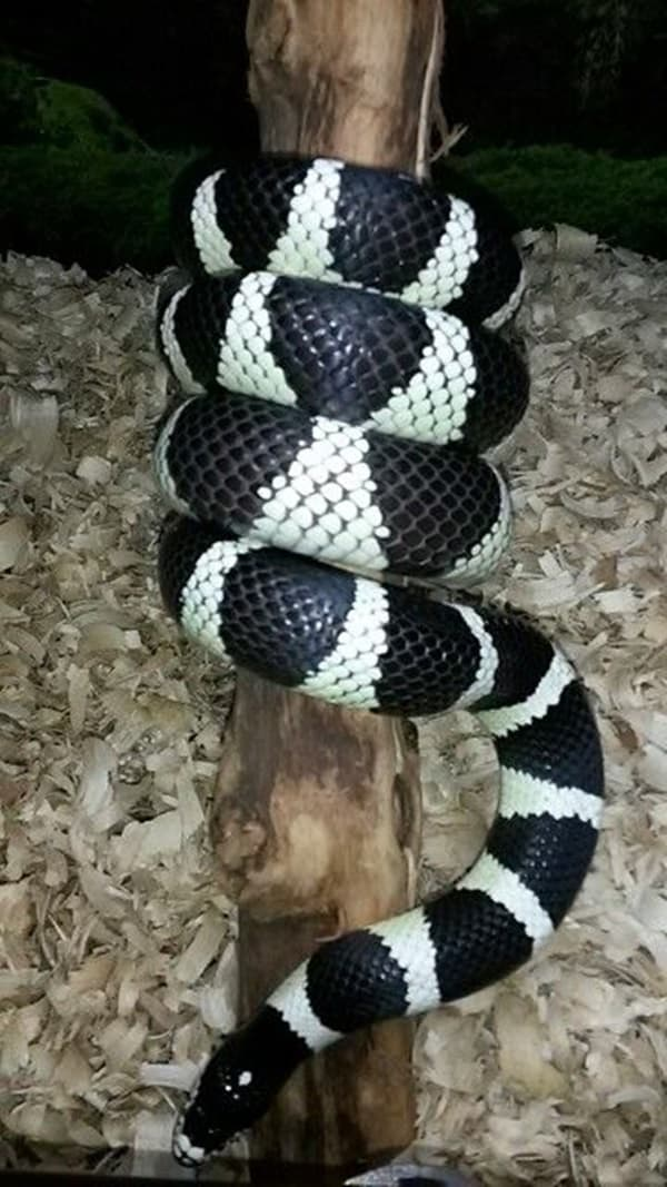 The Best Pet Snake for a Beginner (1)