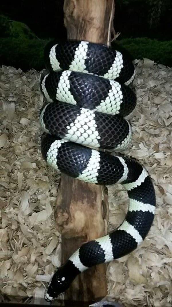 The Best Pet Snake for a Beginner (1)