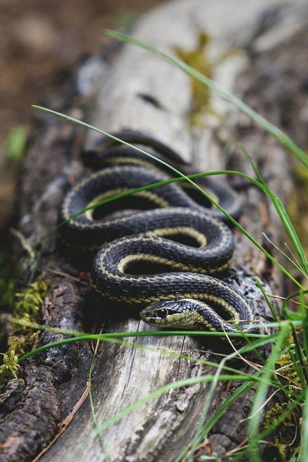 The Best Pet Snake for a Beginner (11)