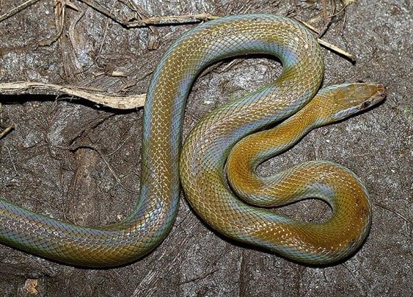 The Best Pet Snake for a Beginner (13)