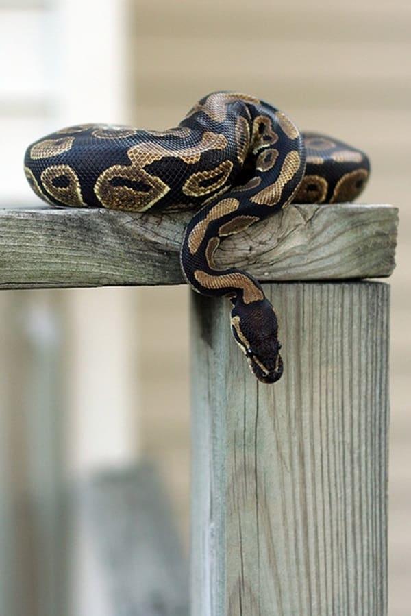 The Best Pet Snake for a Beginner (15)