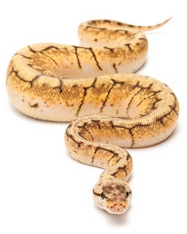 The Best Pet Snake for a Beginner (16)