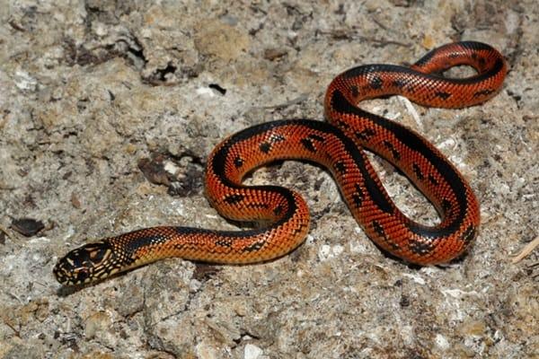 The Best Pet Snake for a Beginner (4)