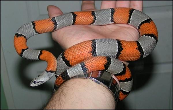 The Best Pet Snake for a Beginner (5)