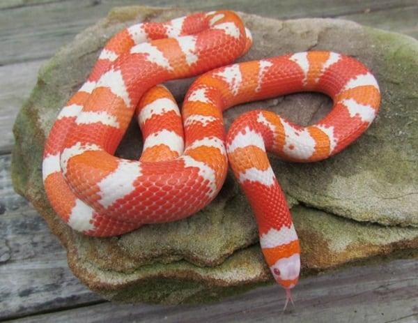 The Best Pet Snake for a Beginner (8)