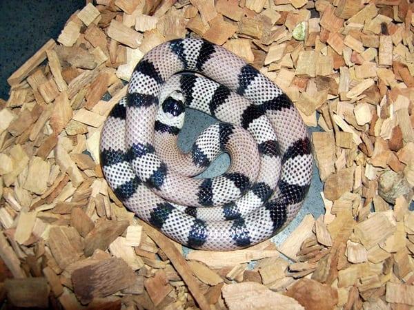The Best Pet Snake for a Beginner (9)